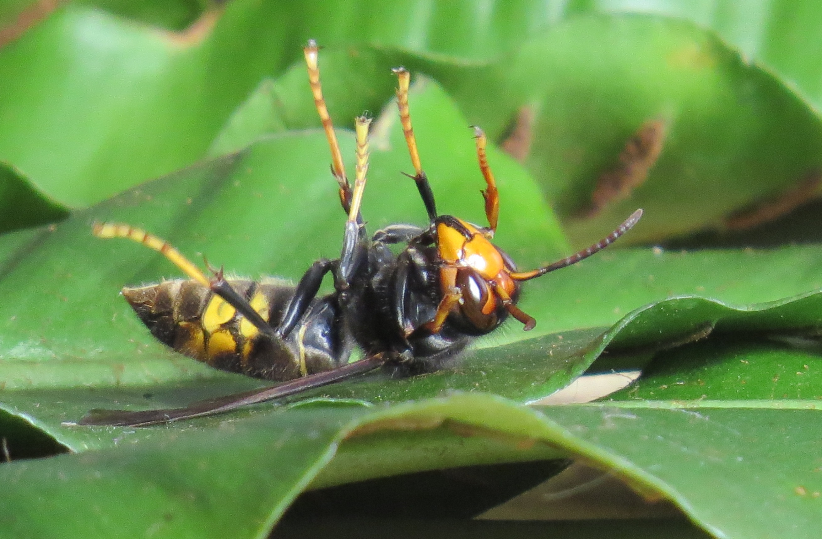 Asian hornet Italie Novare