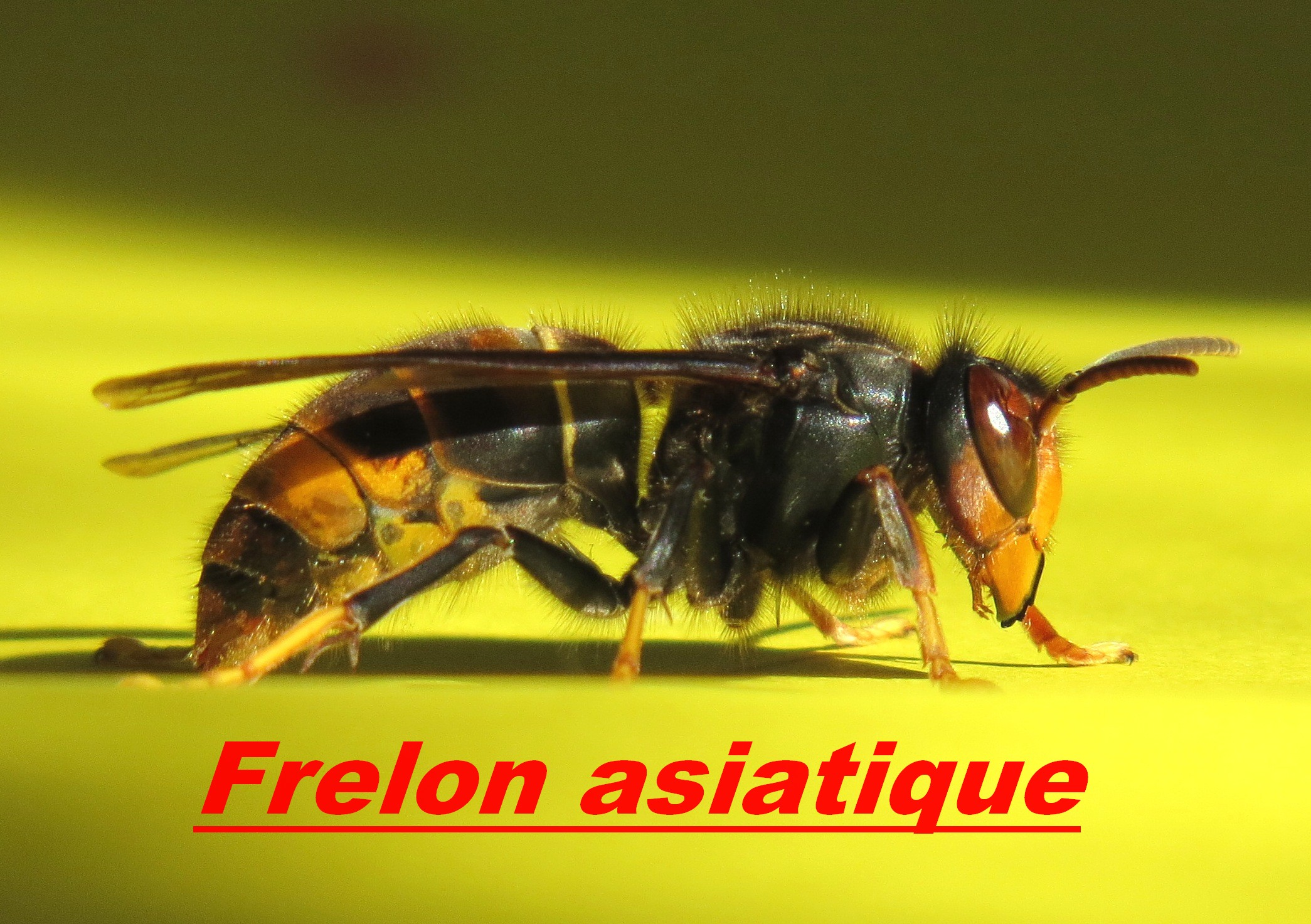 frelon asiatique Matignon